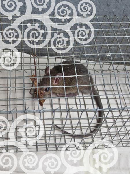 rat-1z