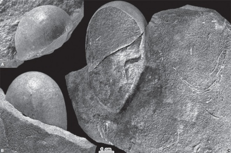 creataceous-dinosaur-egg-fossil-paleontology