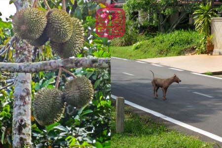 K'CHING-DURIAN-DOG
